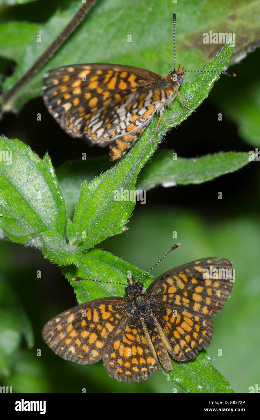 Elada Checkerspots, Texola elada, male courting female - Stock Image