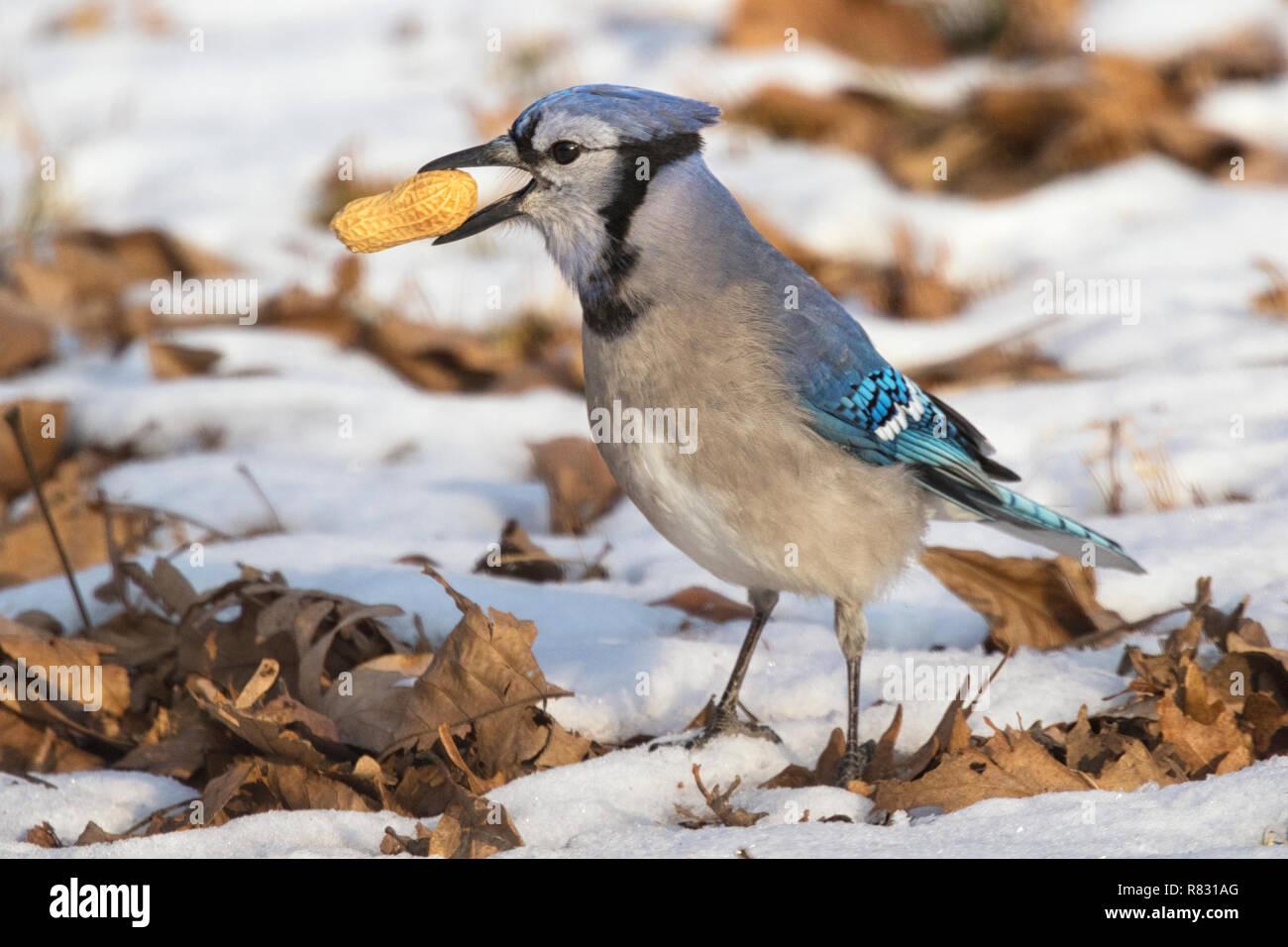 Blue jay (Cyanocitta cristata) found a peanut in the snow, Iowa, USA Stock Photo