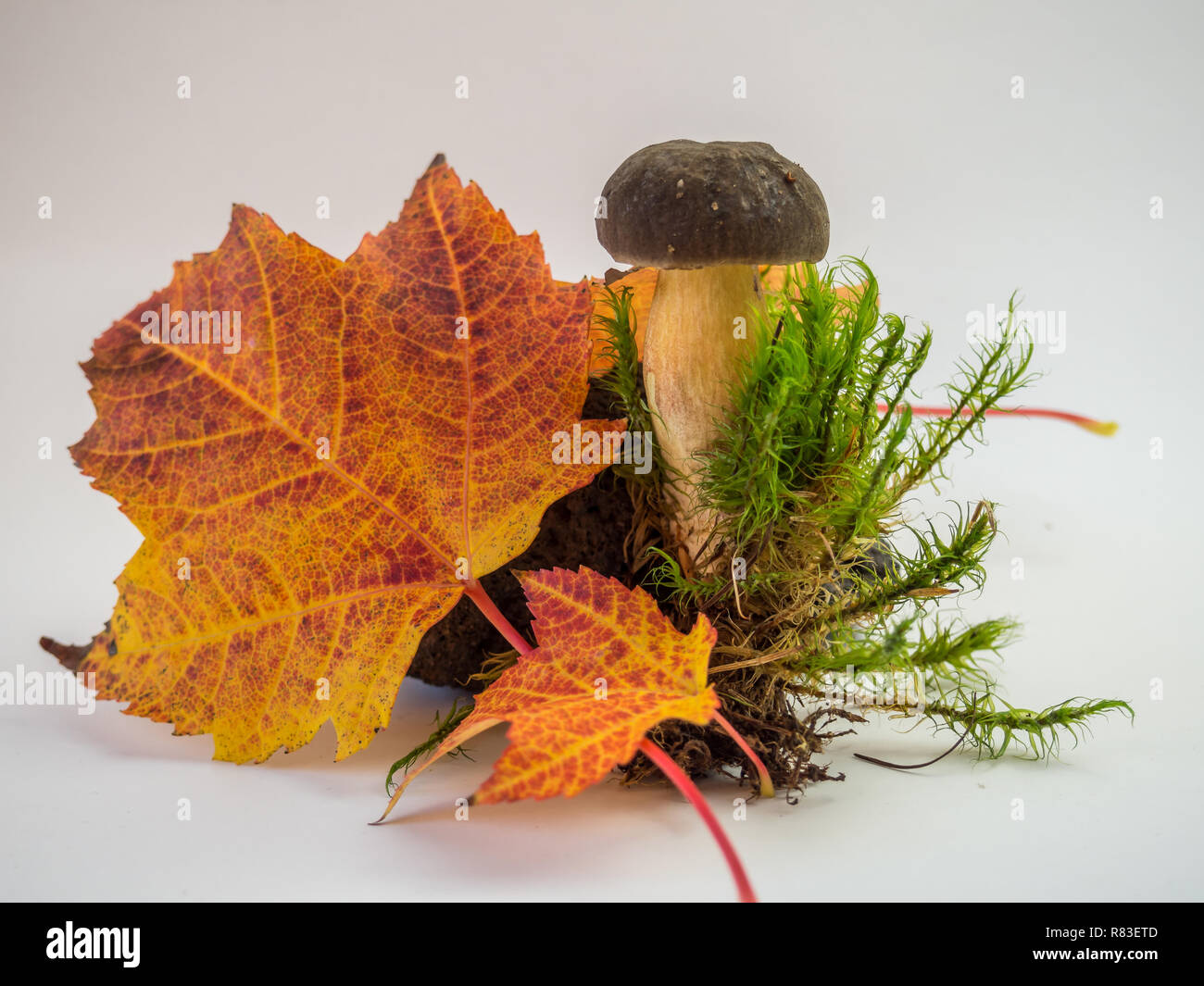 Autumn template with mushroom - Stock Image