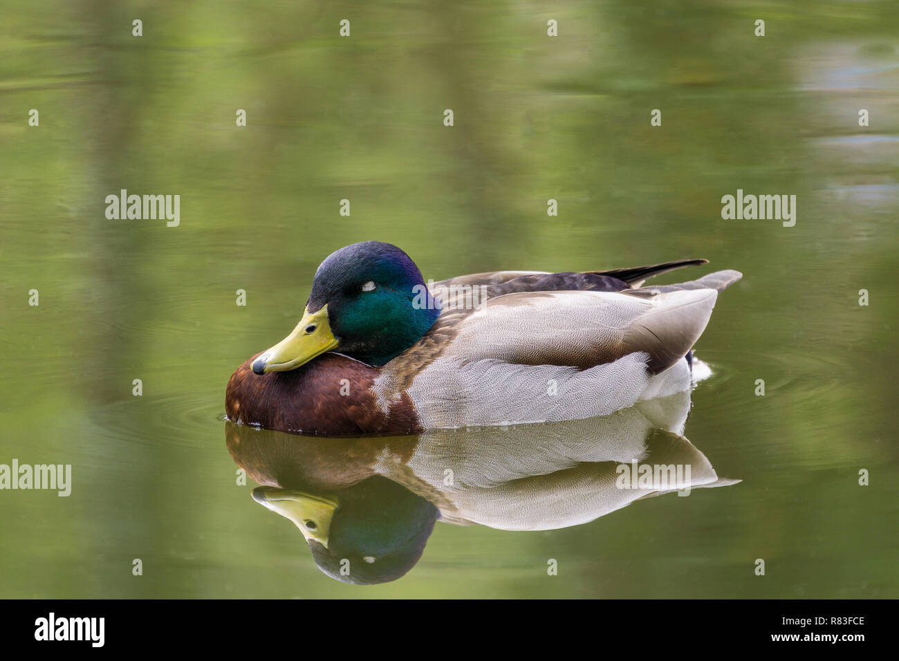 Close-up of a Mallard Duck (Anas platyrhynchos) at the Lake. - Stock Image
