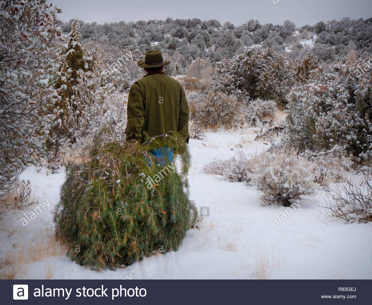 Christmas Tree In The Desert.Rugged Man Hauling Freshly Harvested Christmas Tree In Snowy