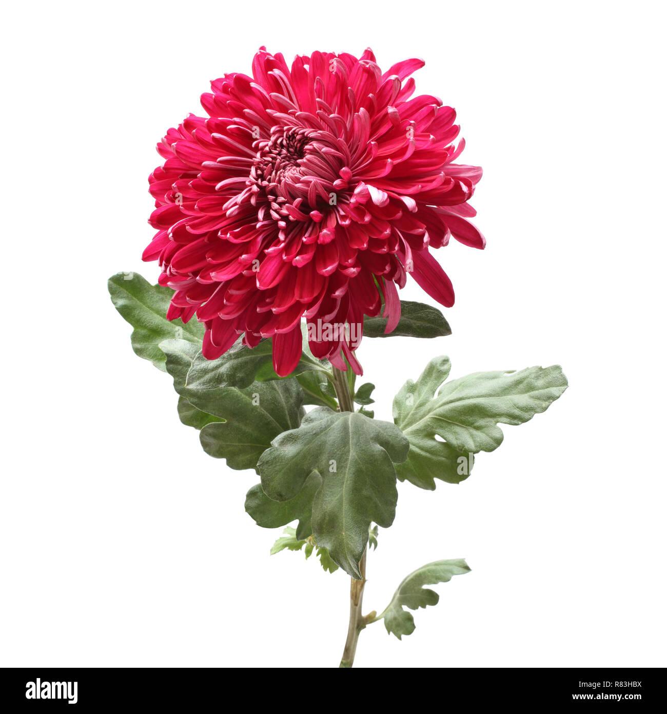 Big magenta chrysanthemum flower isolated on white background Stock Photo