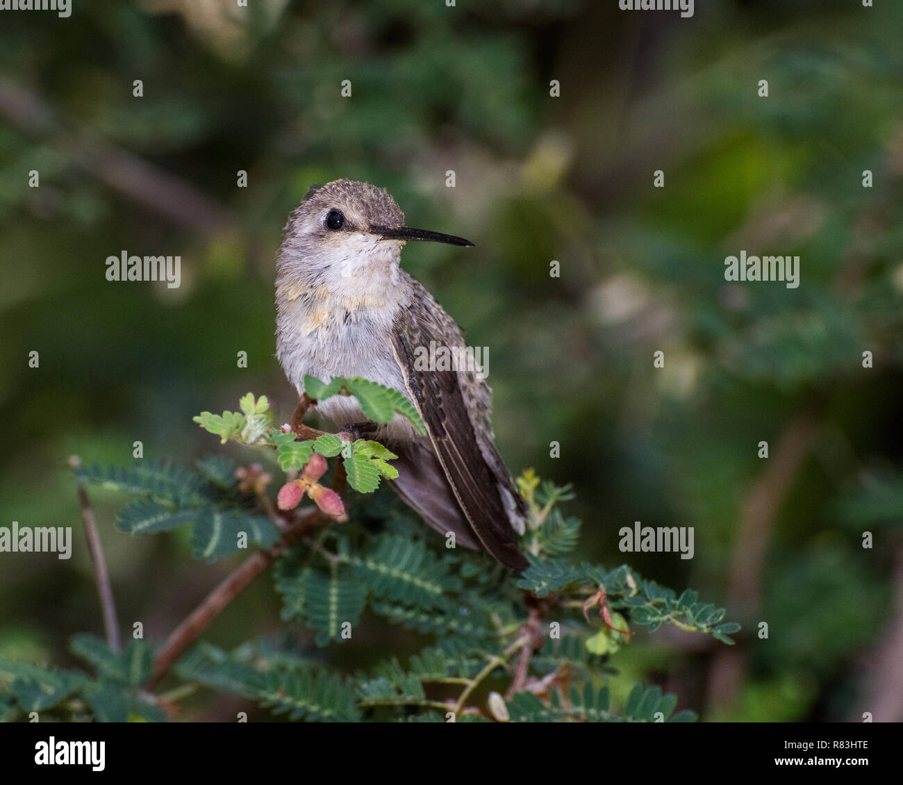 Coquettish Female Hummingbird Perched within a Fairy Duster Plant - Stock Image