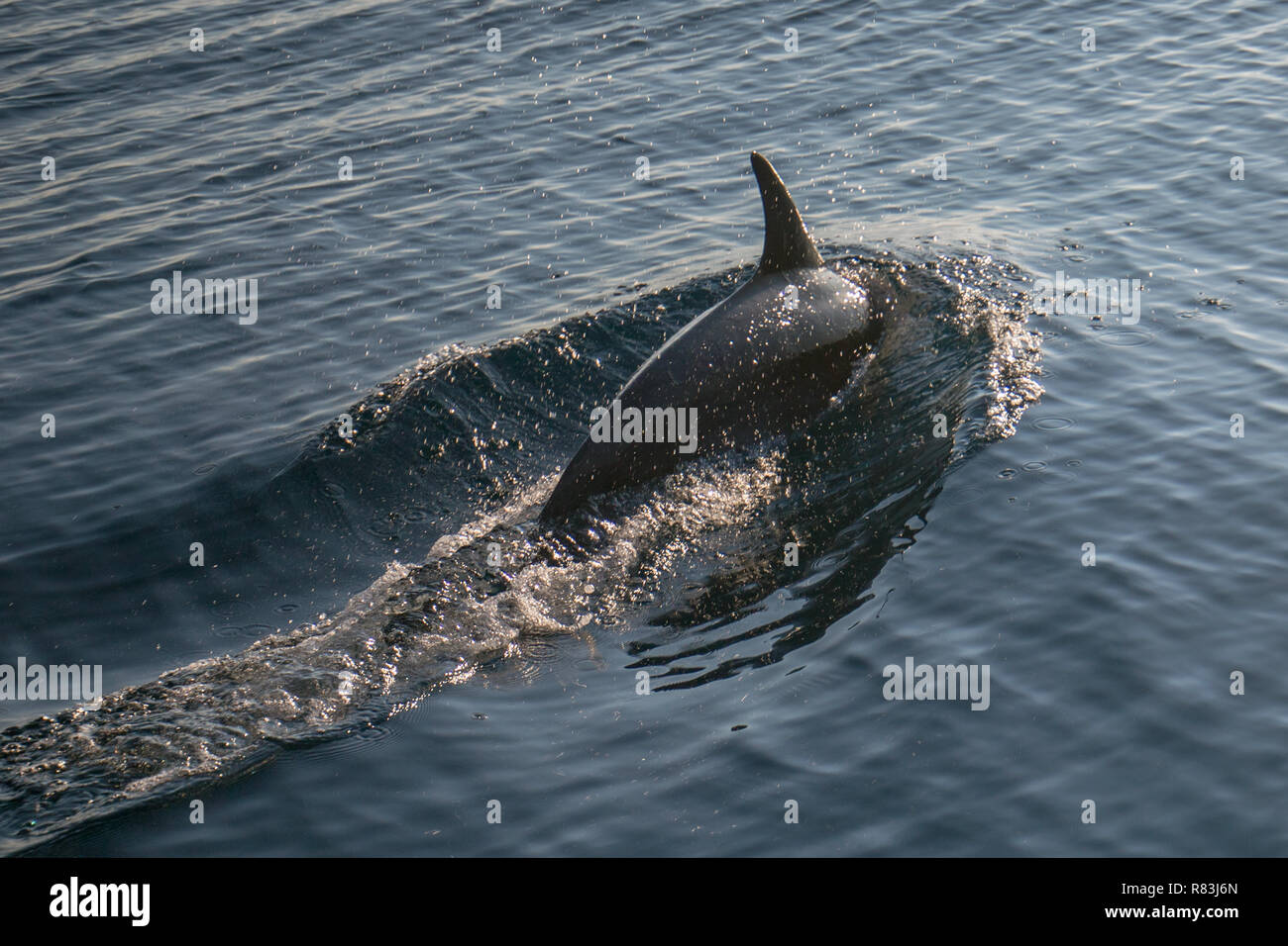 Common bottle nose dolphin bewteen Port Hueneme and the Channel Islands off the California coast United States - Stock Image