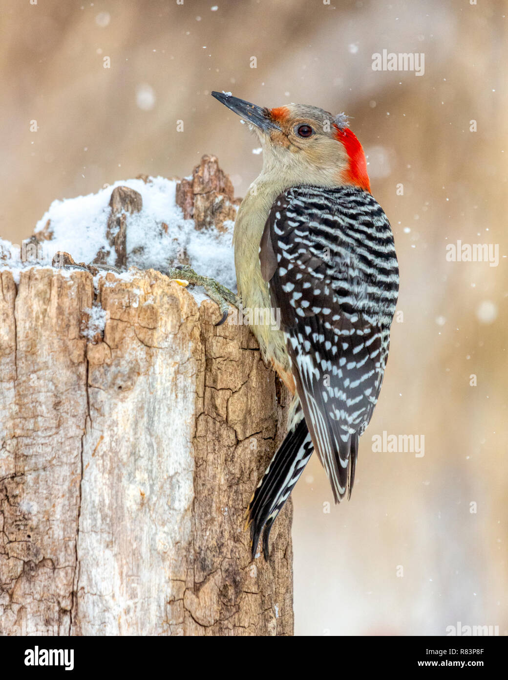 Wild female Red-bellied Woodpecker (Melanerpes carolinus) perched on a stump in winter with snow falling around her. Stock Photo