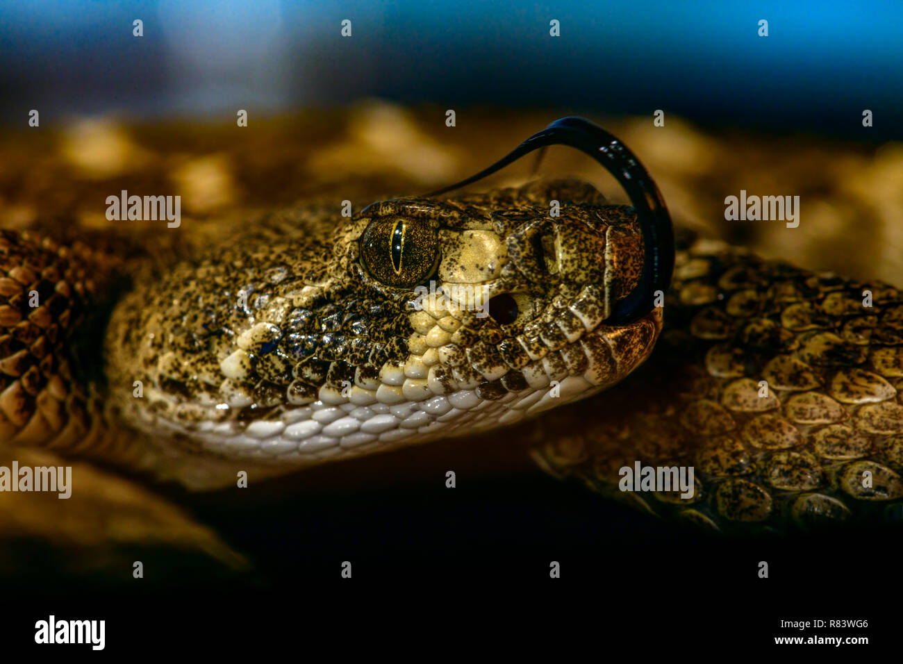 Western Diamondback Rattlesnake (Crotalus Atrox) close-up profile of head. Tongue curled over top of head. detailed. Stock Photo