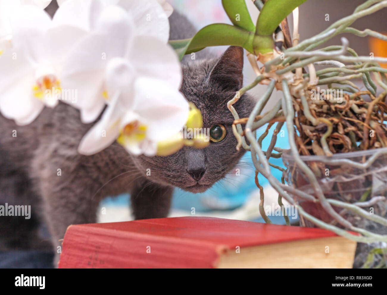 Greay adult cat was hiding behind white home orchid - Stock Image