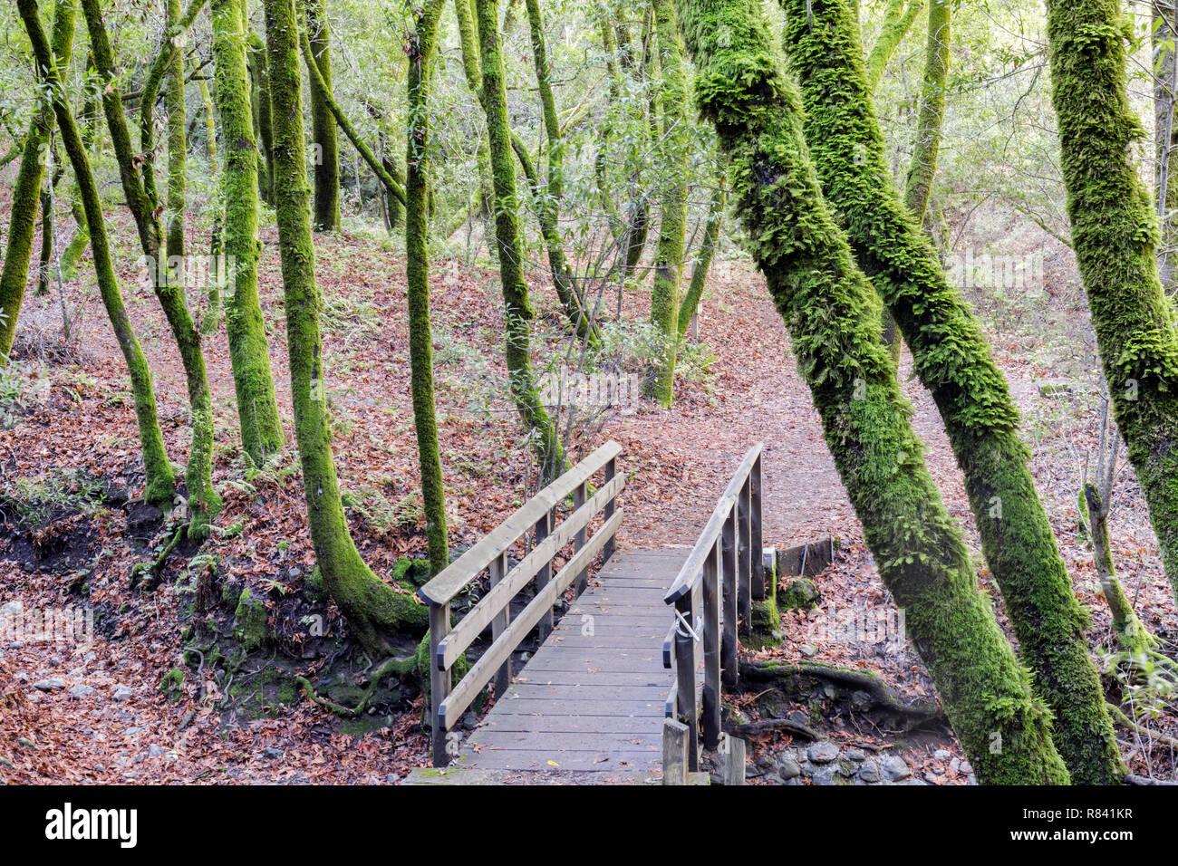 Footbridge in California Bay Laurel Forest. Stock Photo
