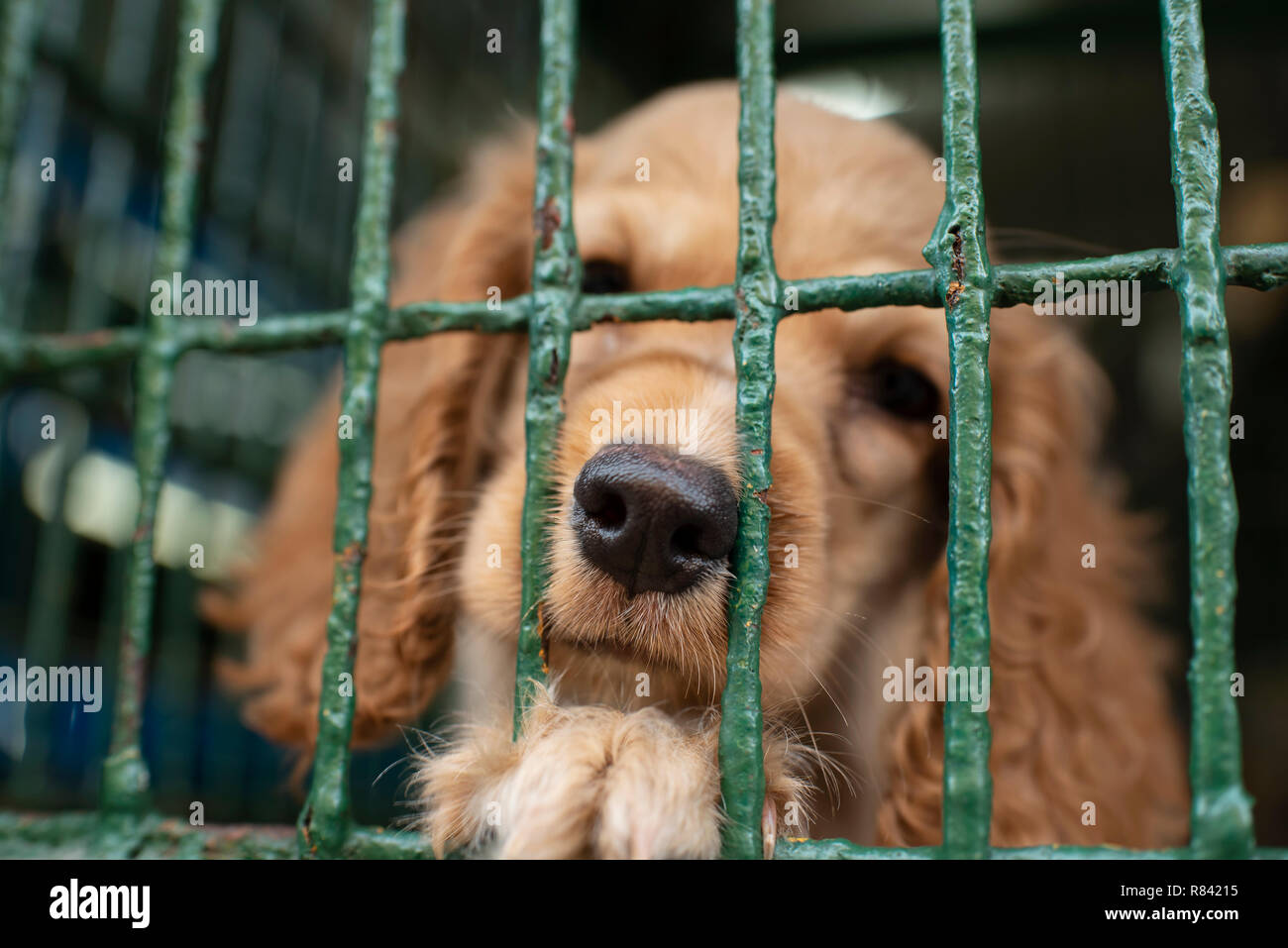 Cocker spaniel puppy in a cage, waiting for his next owner behind bars. Dogs for sale in a pet shop of Cartagena de Indias, Colombia, South America - Stock Image