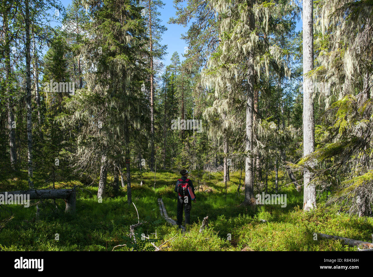 BJORNLANDET, SWEDEN ON AUGUST 06, 2018. Trees with lichen in a primeval forest, late seral forest. Editorial use. - Stock Image