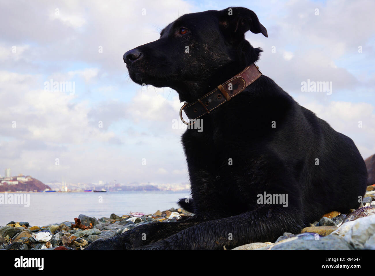 Big black dog lies on the seashore and looks thoughtfully towards the sea. Far East of Russia, Vladivostok - Stock Image