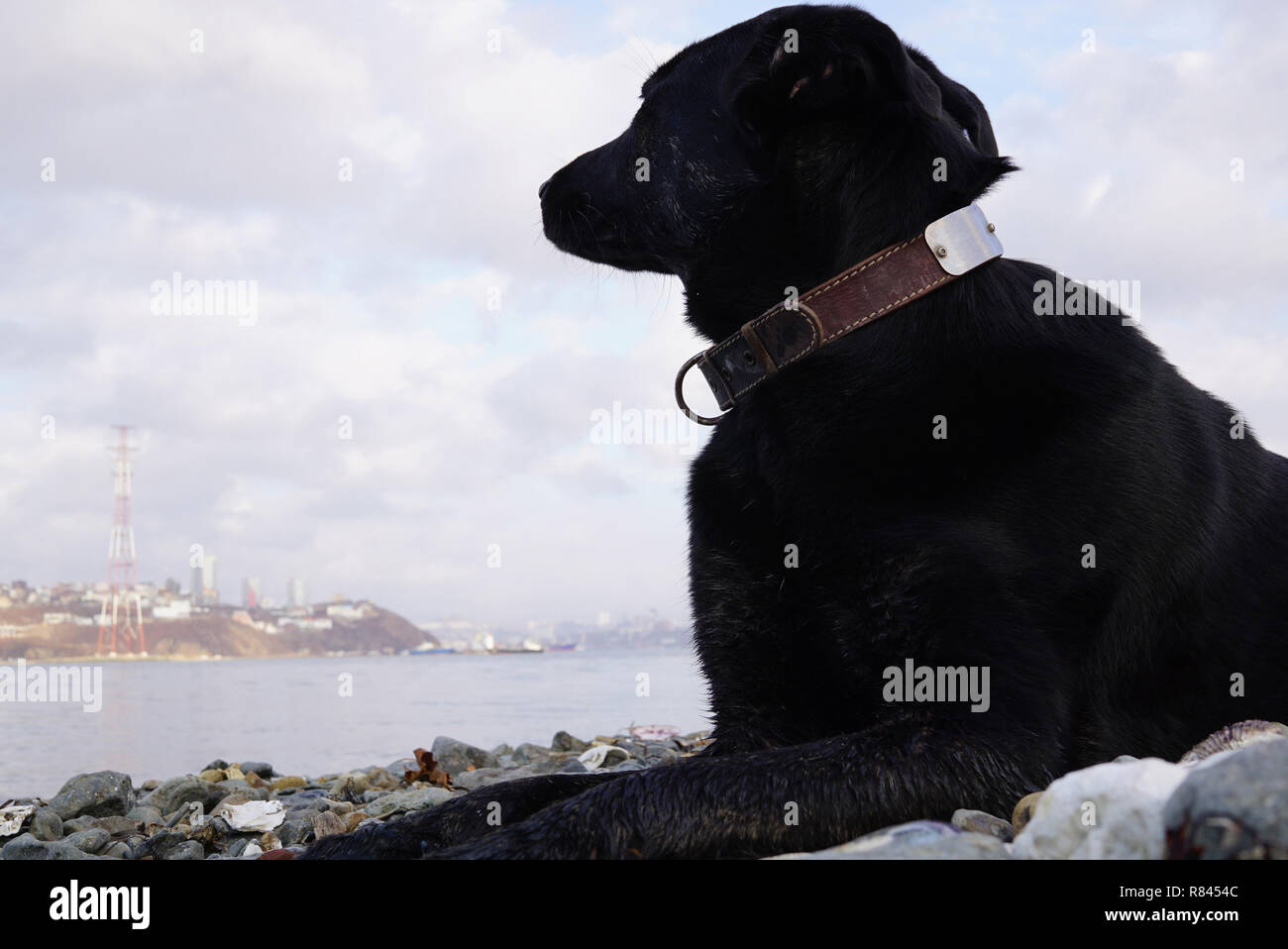 The dog lies on the seashore and looks thoughtfully towards the sea. Far East of Russia, Vladivostok - Stock Image