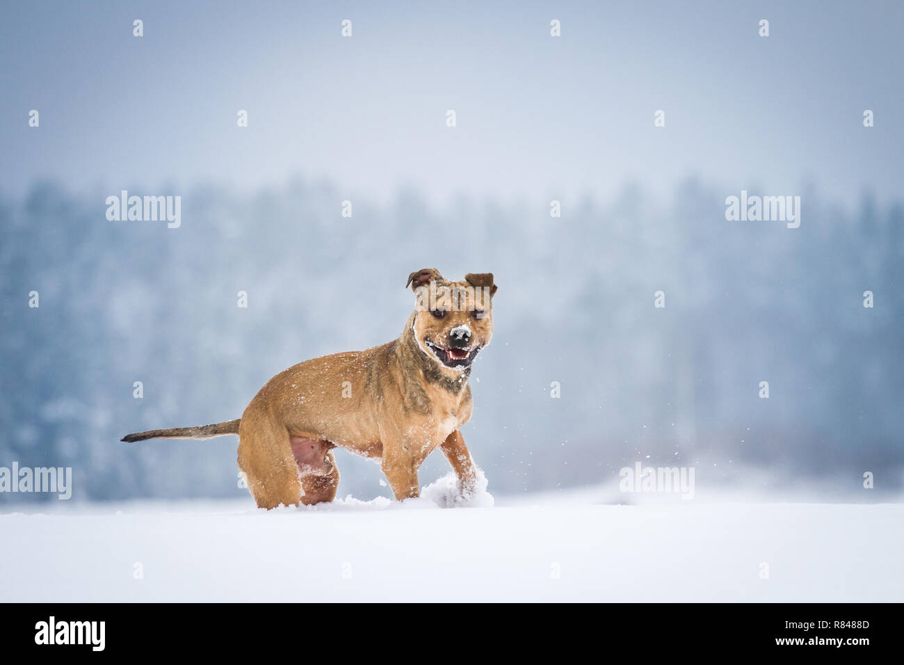 American Pit Bull Terrier running and playing in the snow - Stock Image