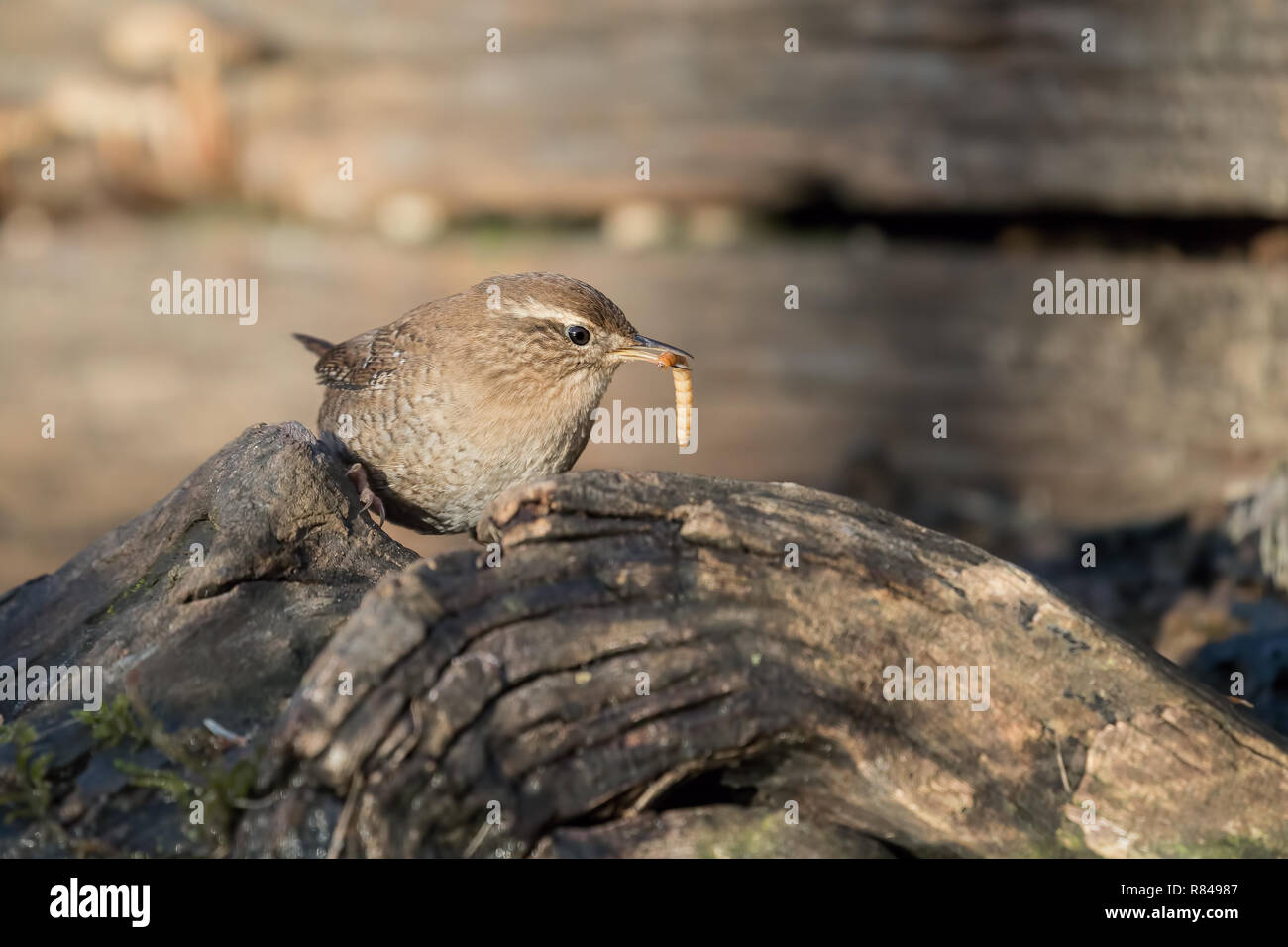 Portrait of Eurasian wren (Troglodytes troglodytes) in the woodland - Stock Image