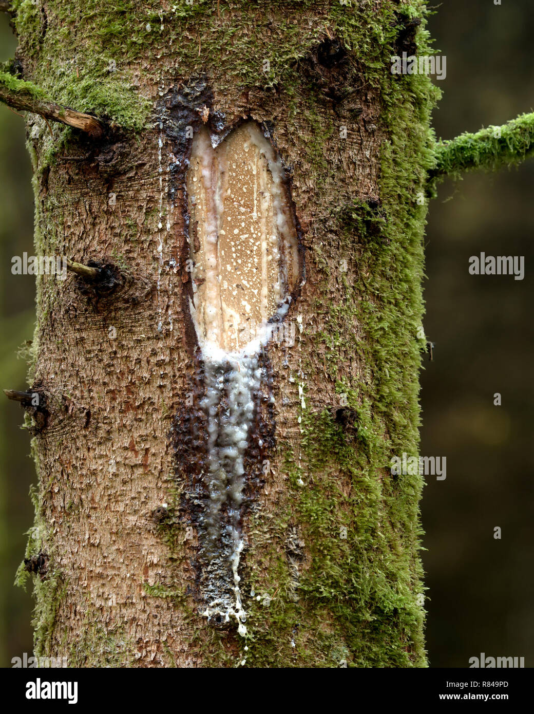Sap running down partly damaged conifer tree trunk. Tipperary, Ireland Stock Photo
