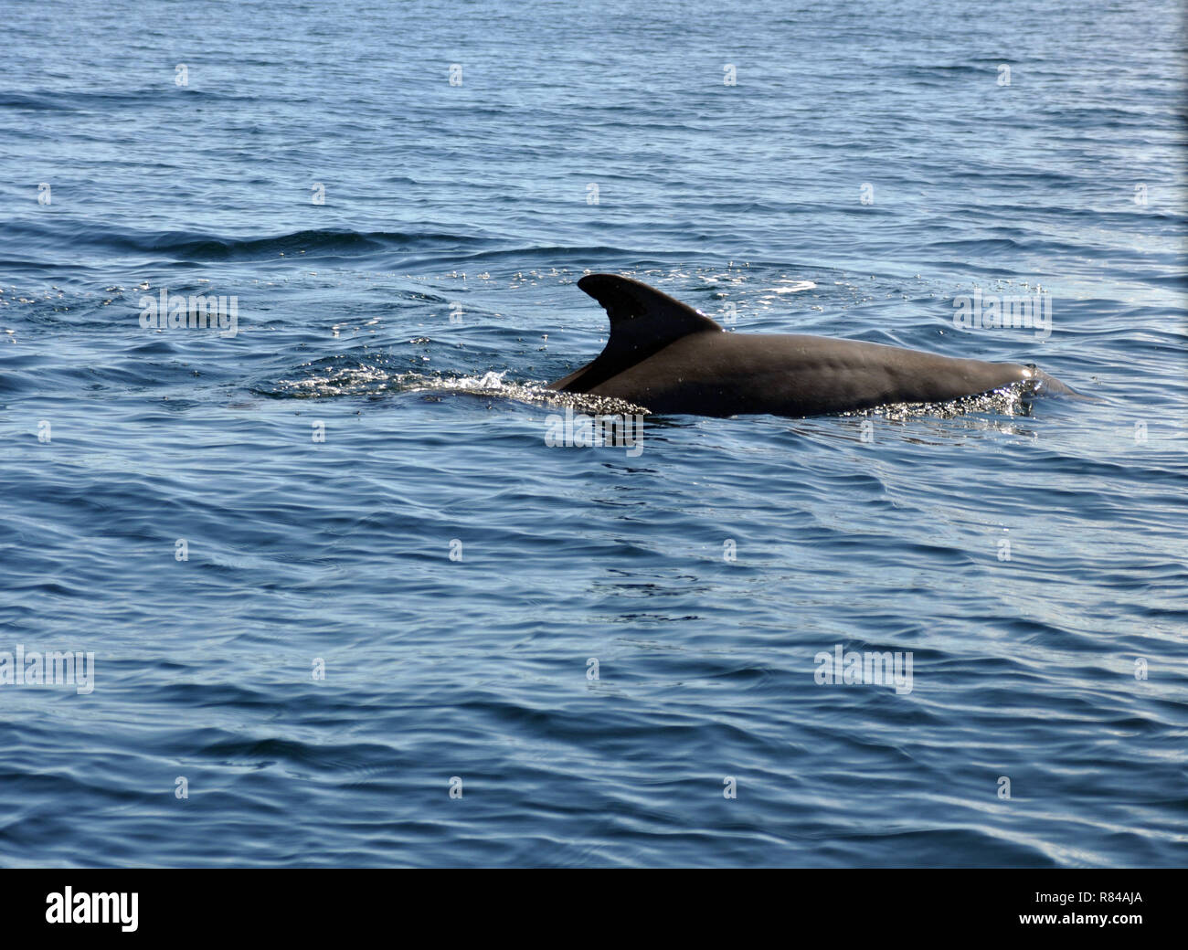 The back of a Dolphin swimming in the Ocean - Stock Image