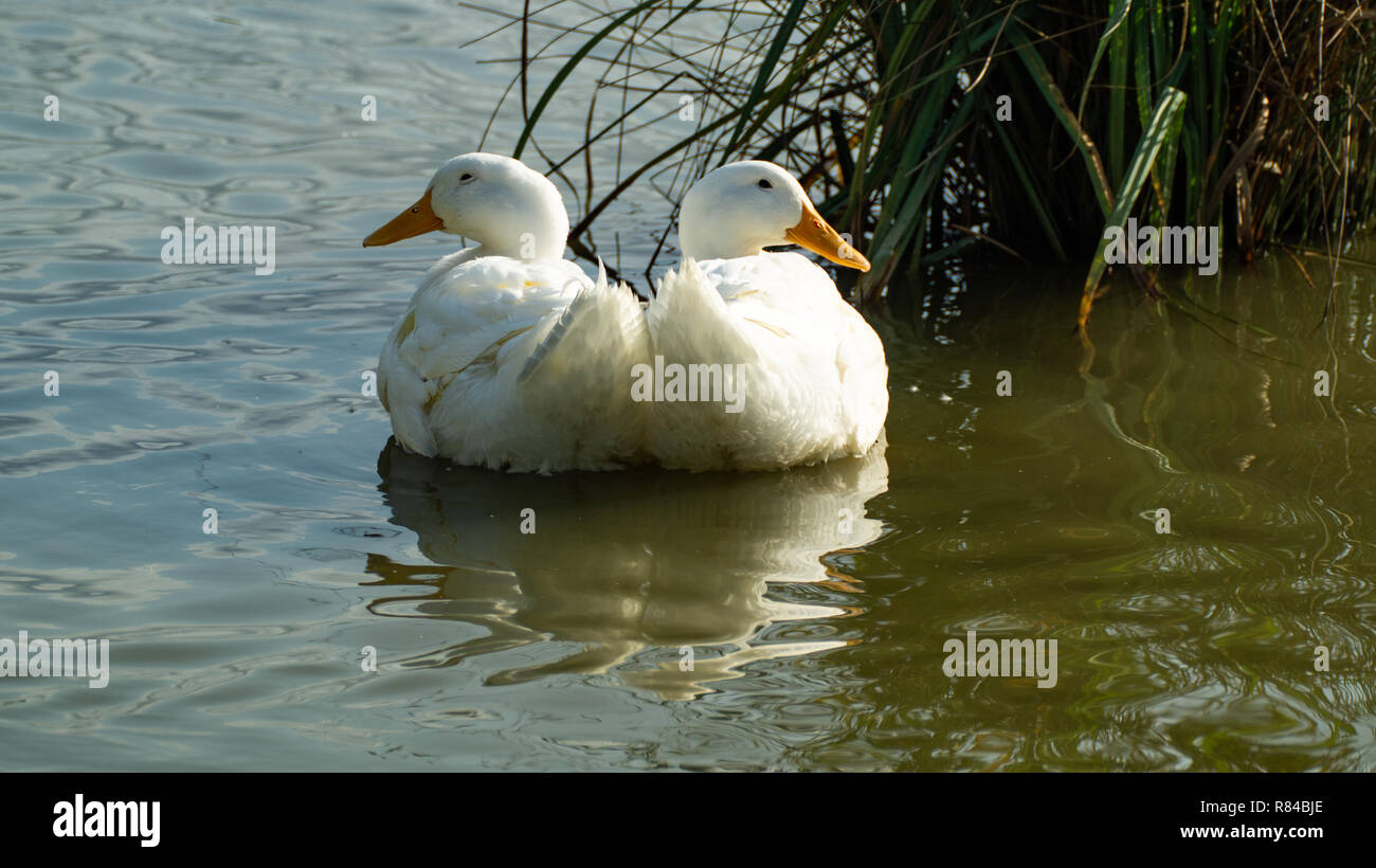 White Pekin (peking) ducks with white feathers and yellow bills in Group Flock, Brace or Raft - Stock Image