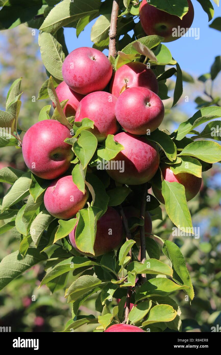 Apple in a tree / pomme dans l'arbre - Stock Image