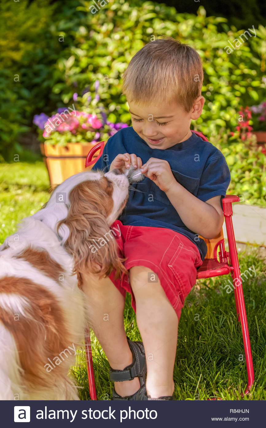 Issaquah, Washington, USA.  Three year old boy sitting in a lawn chair holding bird feathers, teasing a Cavalier King Charles Spaniel. (MR) - Stock Image
