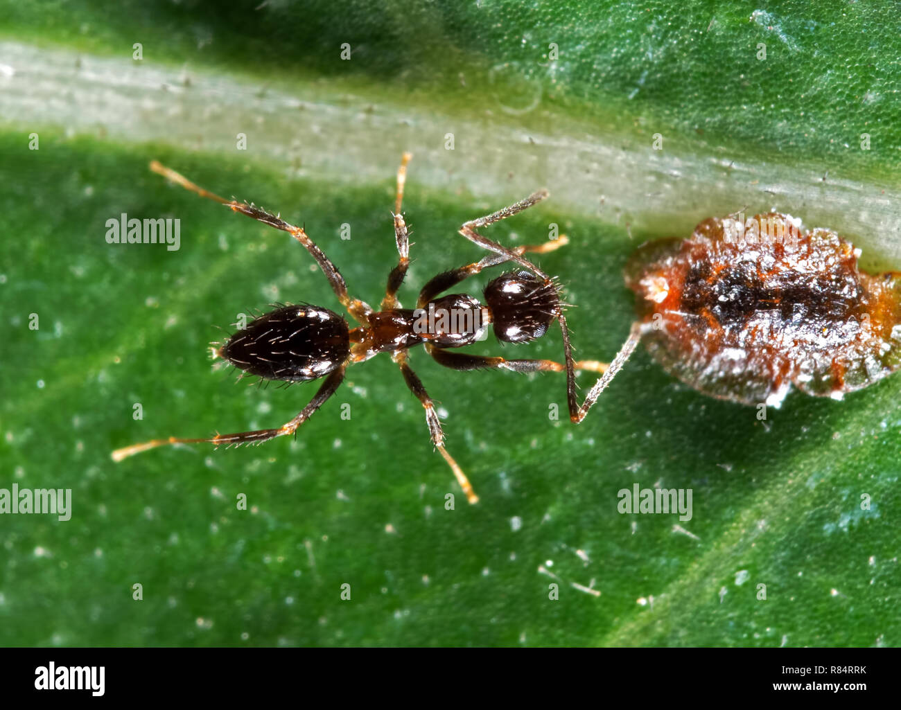 Closeup Tiny Black Garden Ant with Scale Insect on Green Leaf - Stock Image