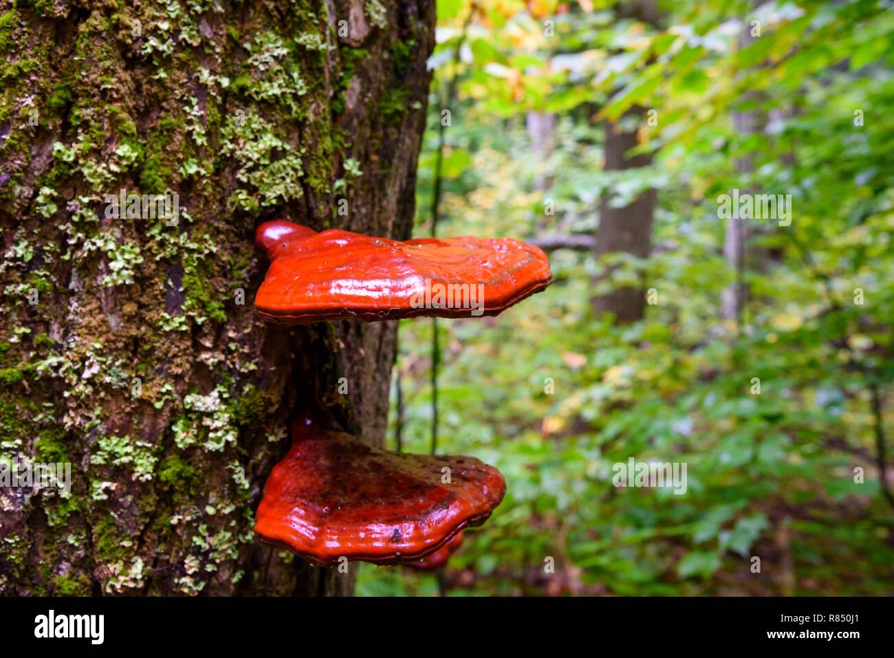 Bracket fungus, Algonquin Provincial Park, Ontario, Canada - Stock Image