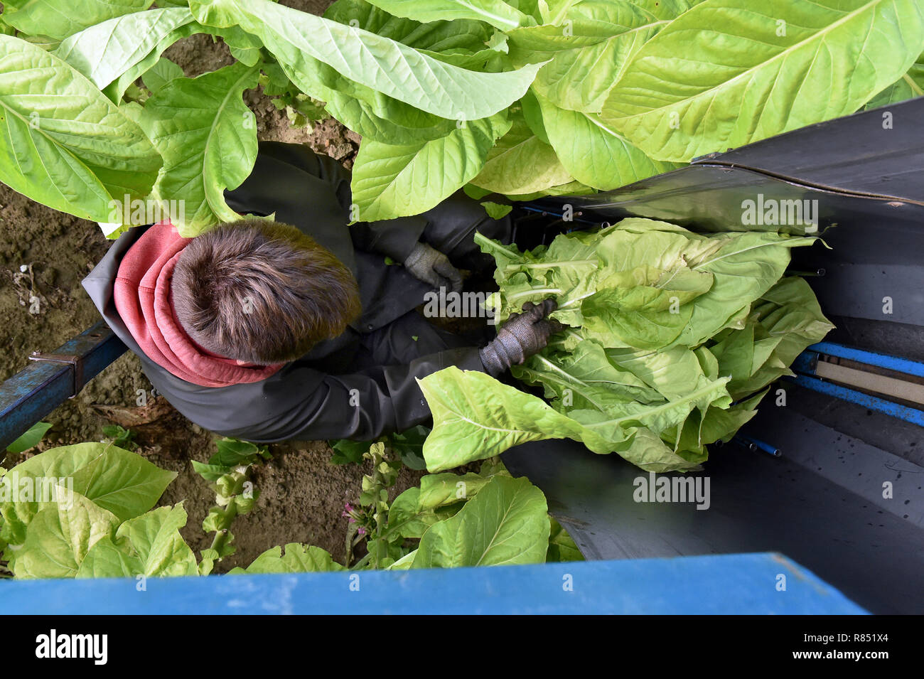 Quesnoy-sur-Deule (northern France): cultivation of tobacco. Tobacco leaves being harvested at the Desreumaux's place *** Local Caption *** - Stock Image