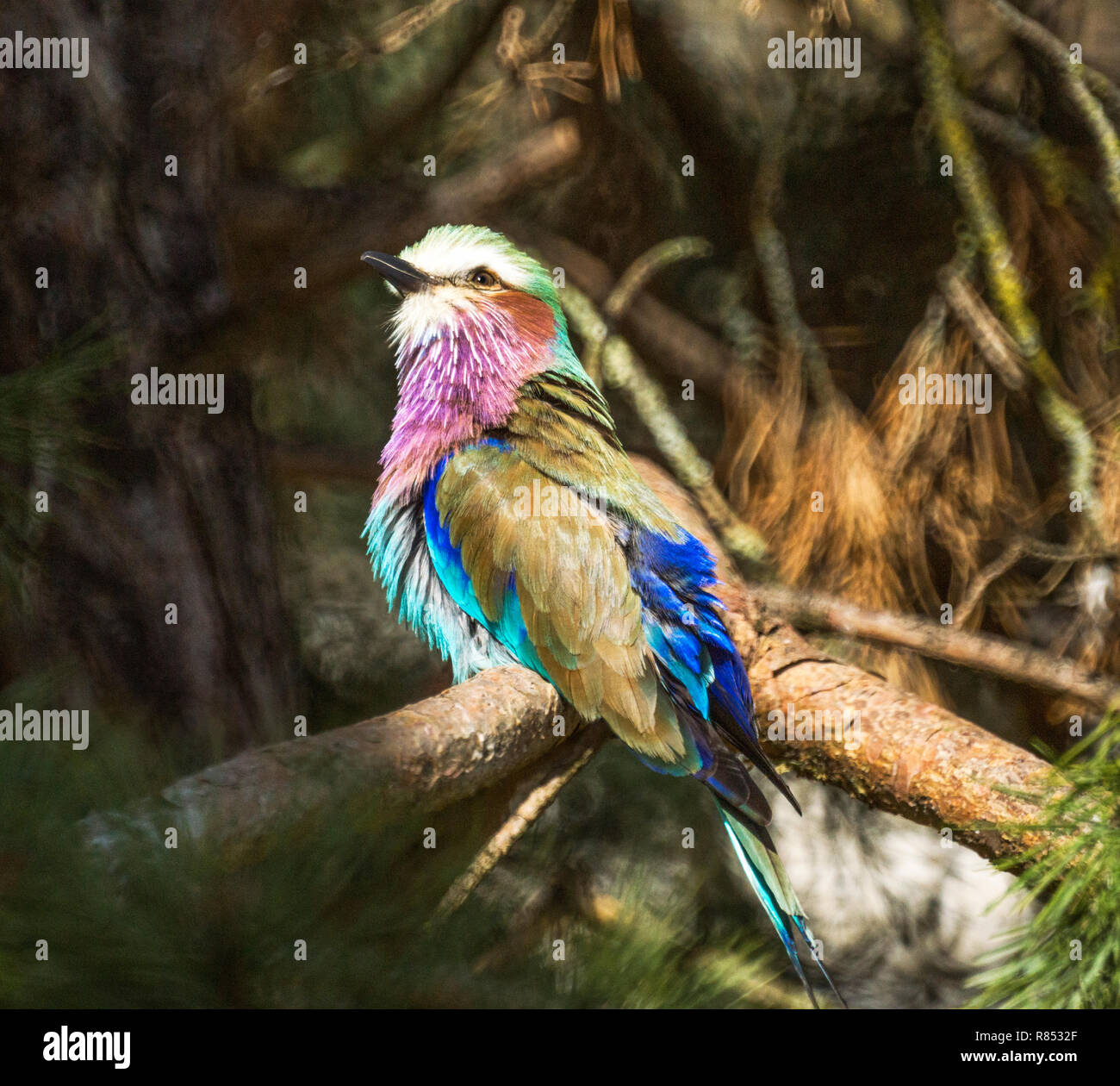 Lilac-breasted Roller (Coracias caudata)  Adult on - Stock Image