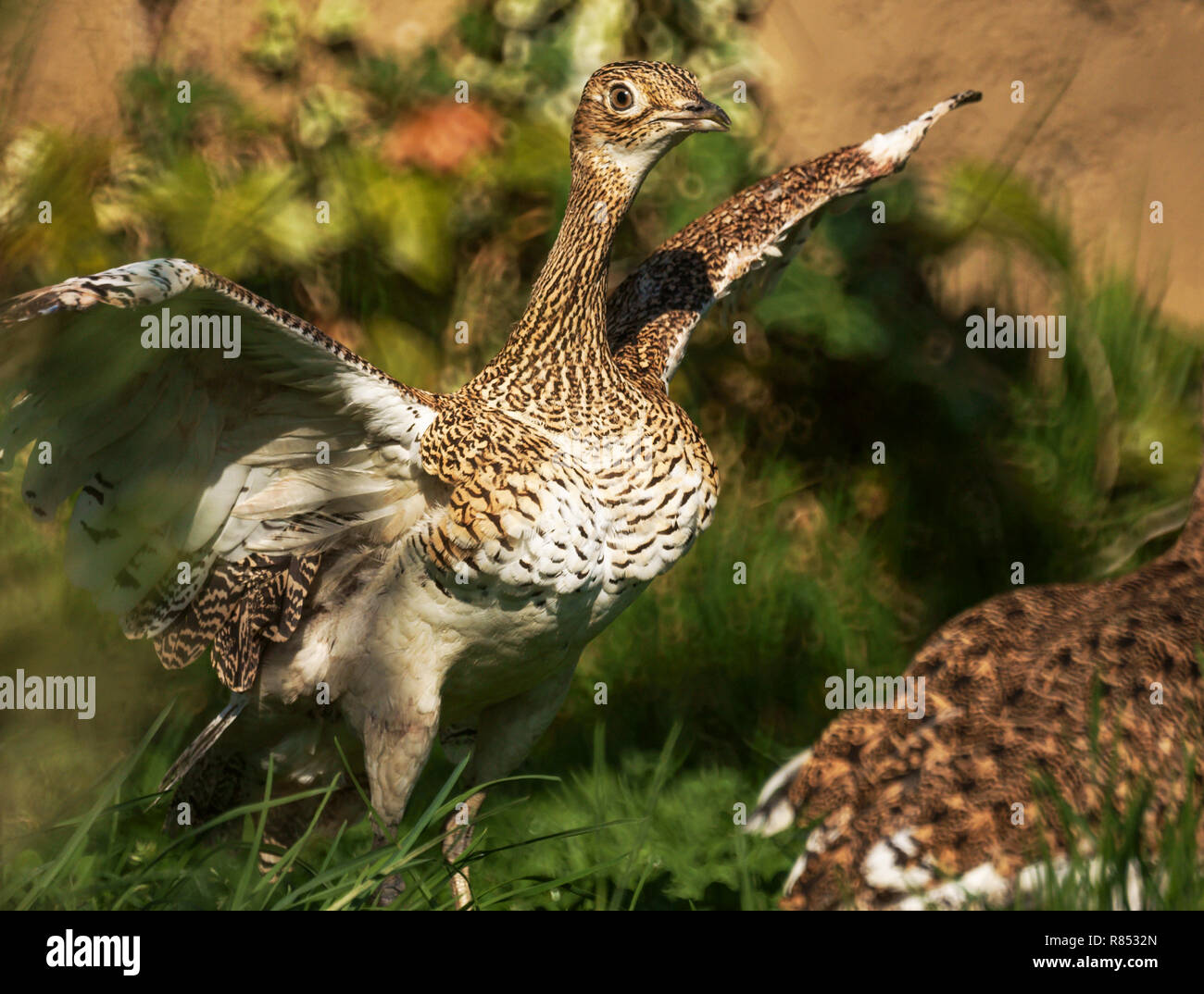 Little Bustard (Tetrax tetrax).In winter plumage.Adult about to bath - Stock Image