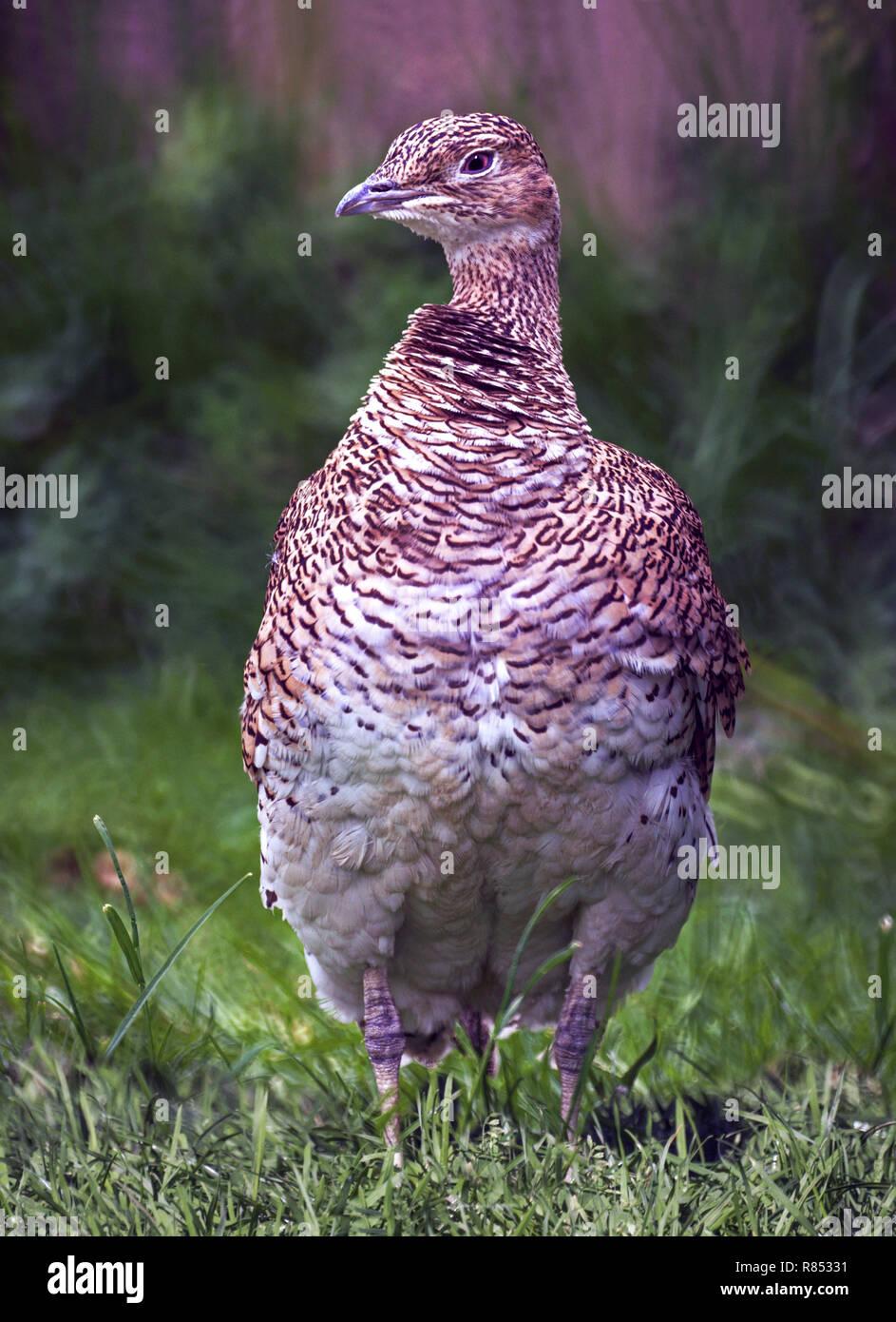 Little Bustard (Tetrax tetrax).In winter plumage - Stock Image