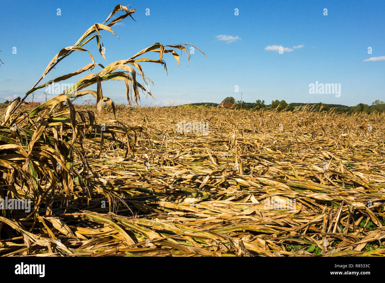 Maize (Zea mays).Corn on the cob or Indian Corn. Crop ruined by high winds. - Stock Image