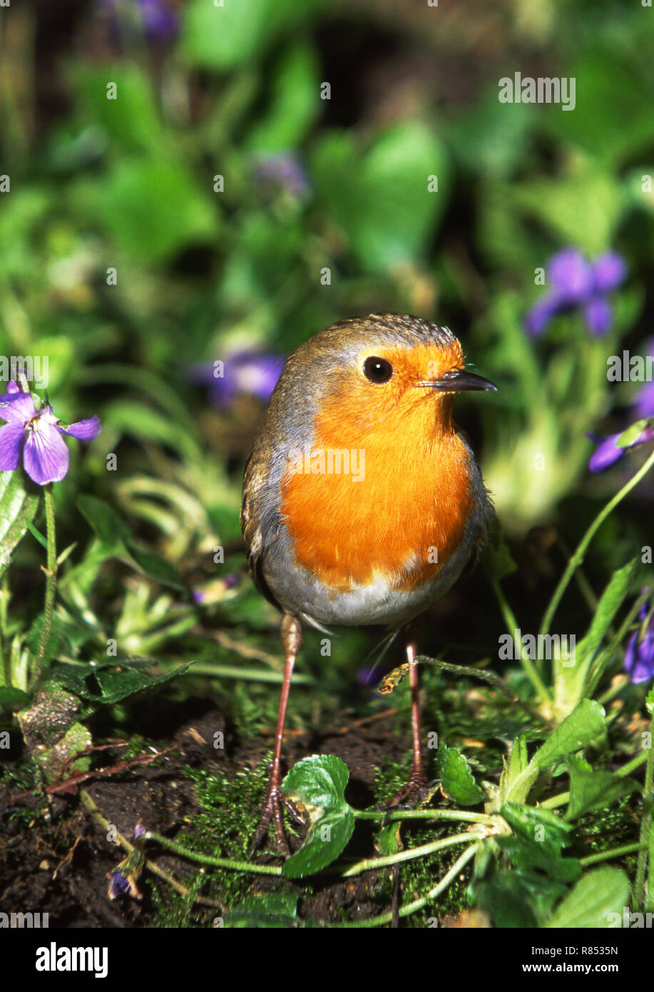 Robin (Erithacus rubecula) brought into camera range with food. - Stock Image