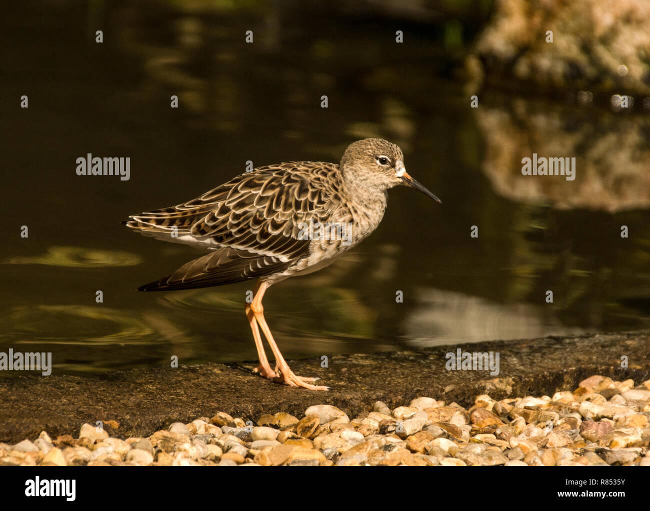Female Ruff ((Philomachus pugnax)  entering summer plumage. - Stock Image