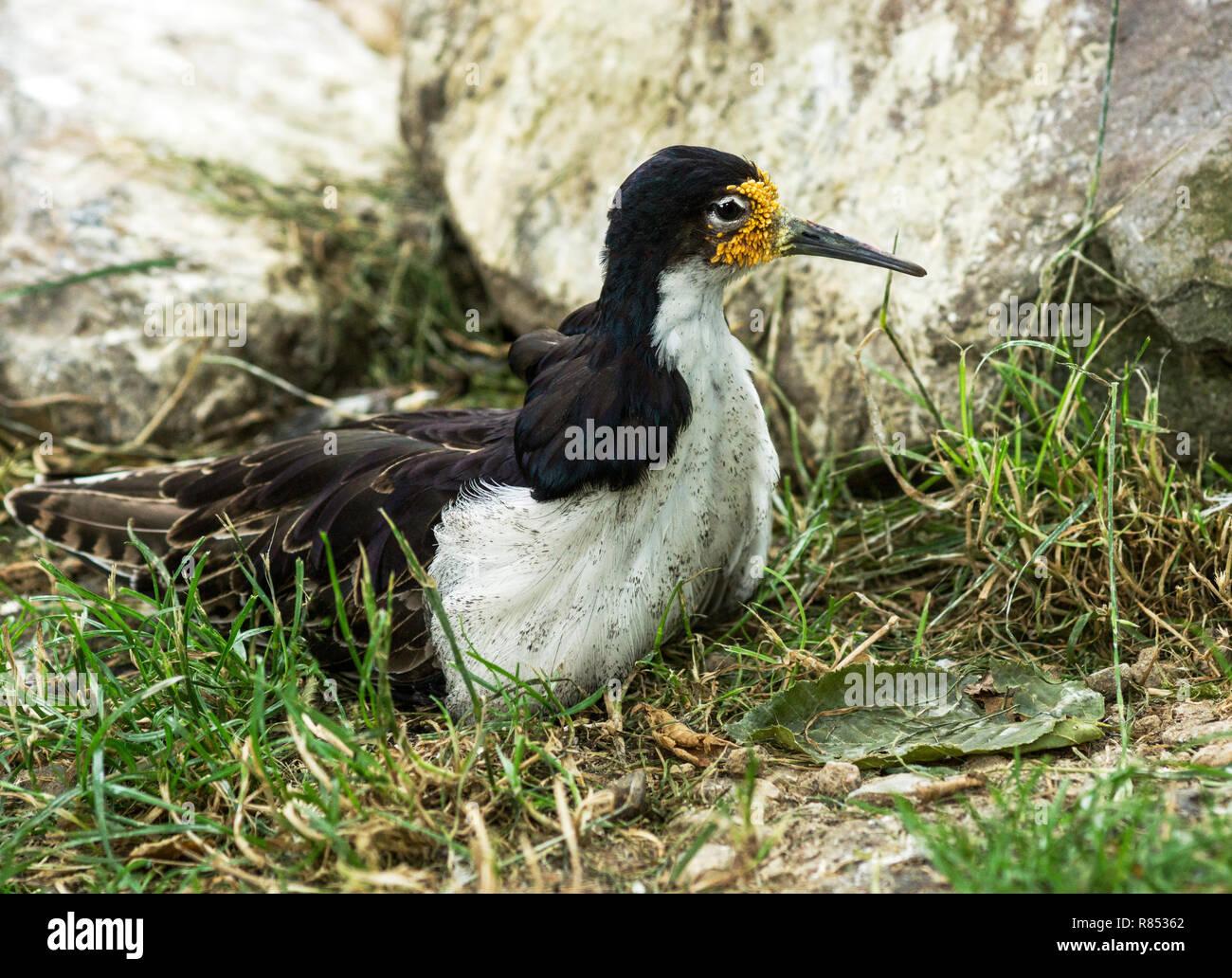 Male Ruff (Philomachus pugnax) in breeding plumage - Stock Image