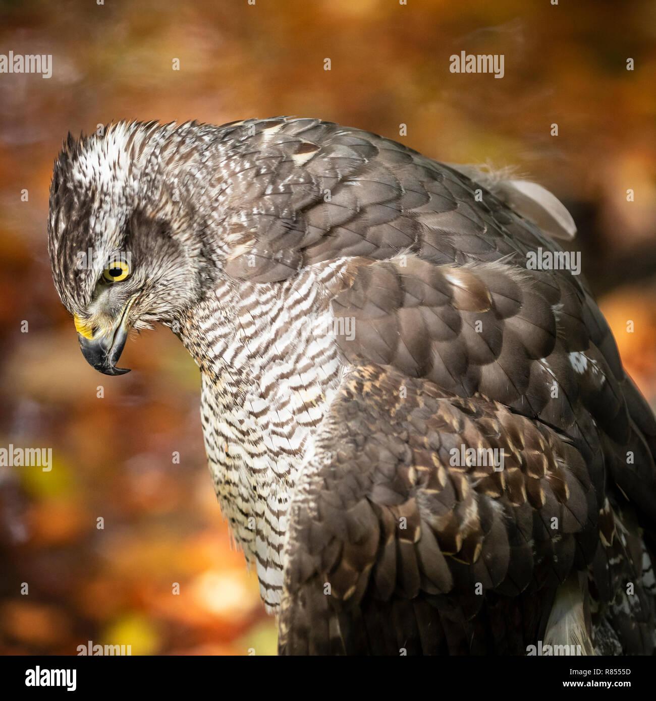Goshawk at the Riverside Falconry Centre. - Stock Image