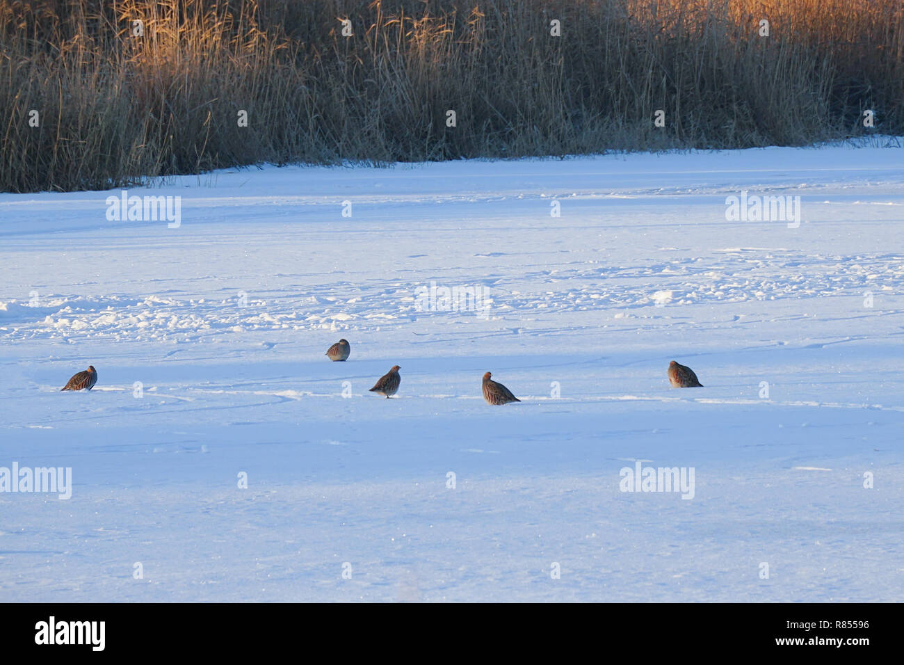 A flock of wild partridges sitting in the snow - Stock Image