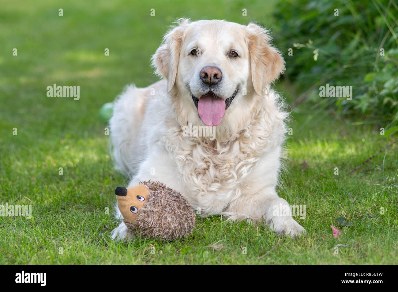 A joyful golden retriever rests in the yard with its hedgehog chew toy, Richmond, Yorkshire , UK - Stock Image