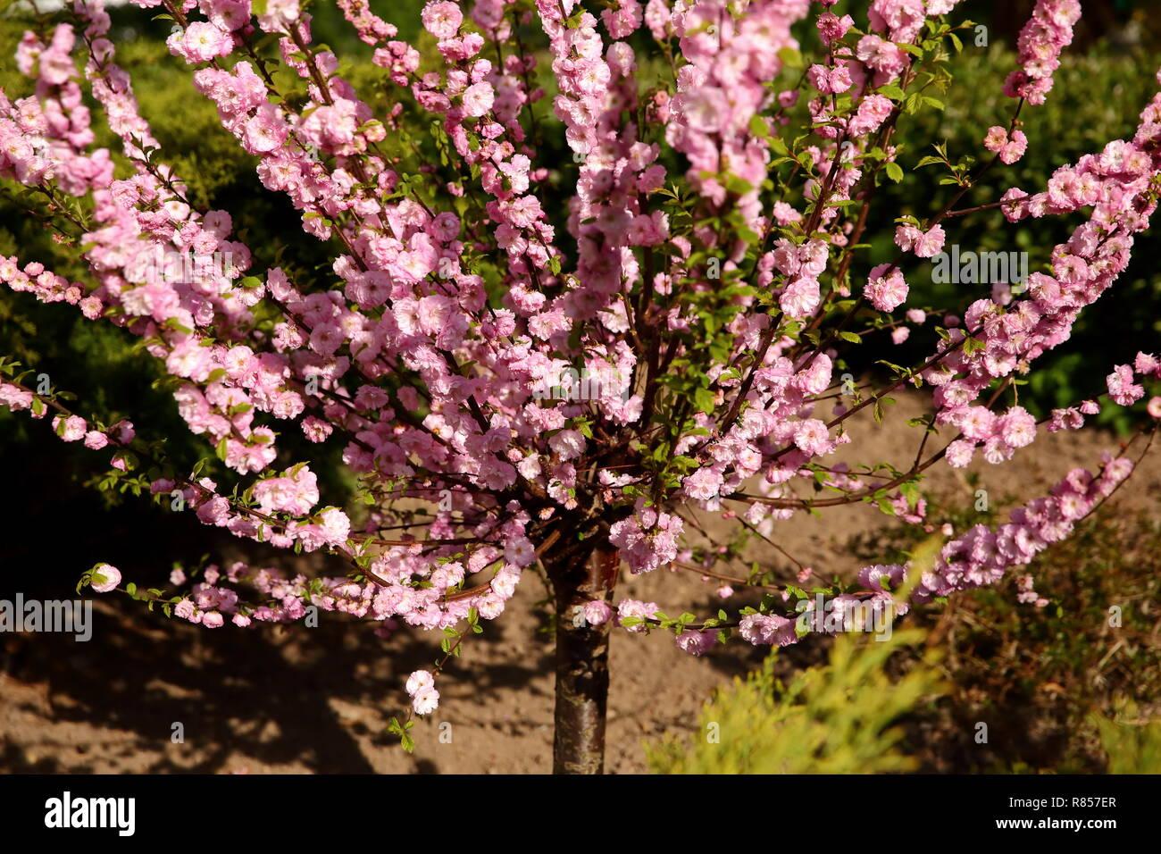 Prunus triloba to wyjątkowe drzewo obficie kwitnące w miesiącu kwietniu w Polsce. - Stock Image