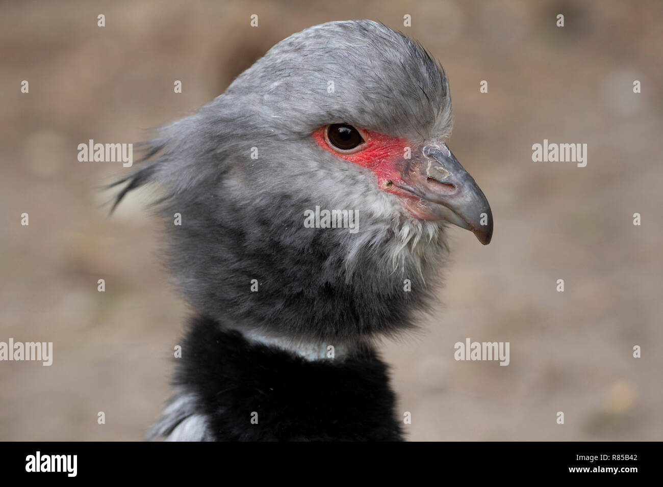 The southern Screamer, bird of South America, strange bird with black collar. - Stock Image