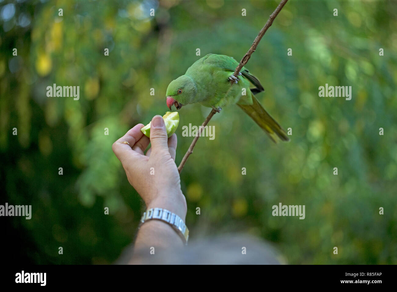 Roses In Garden: Rose Ringed Parakeets Uk Stock Photos & Rose Ringed