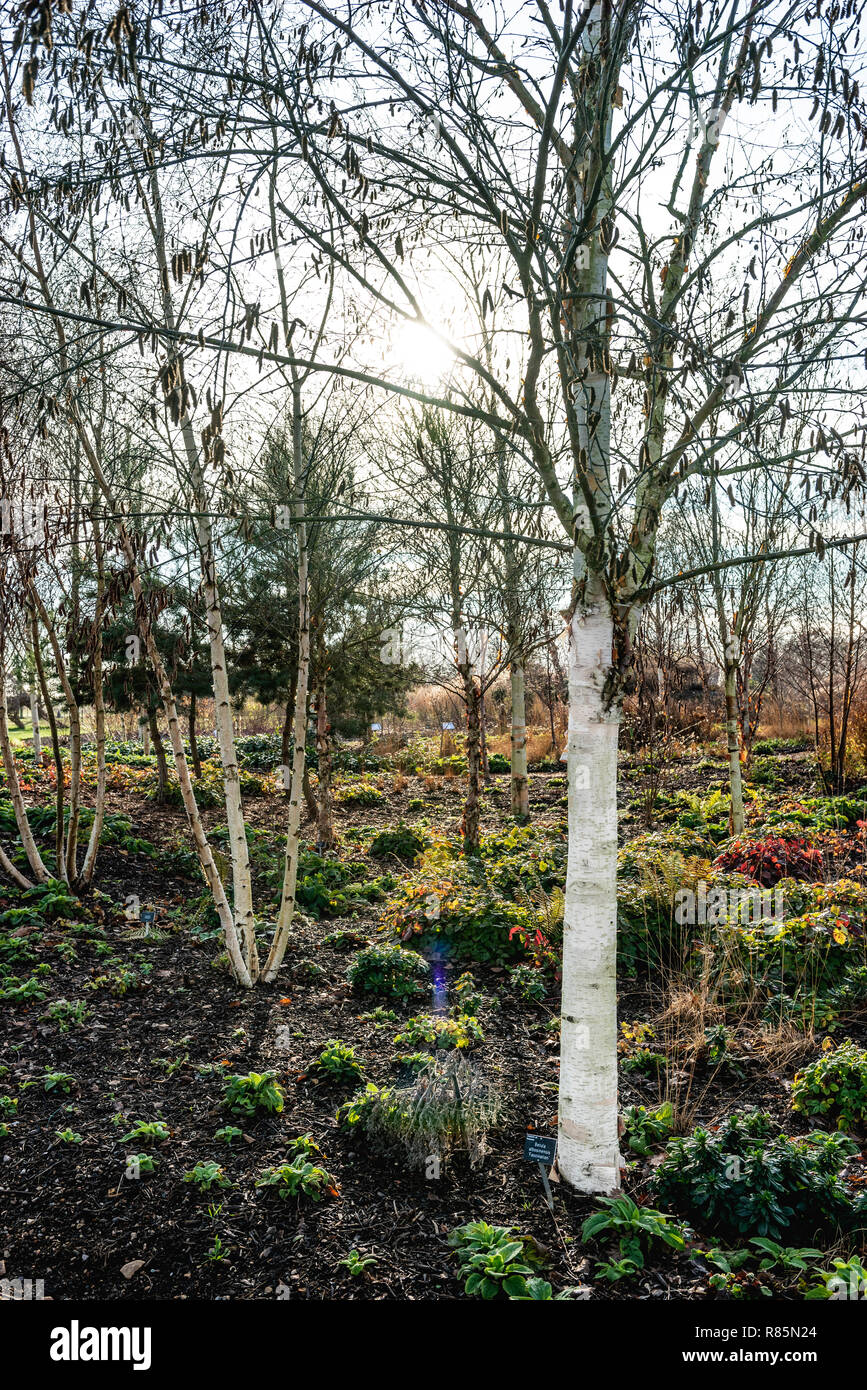 Betula albosinensis Fascination in RHS Hyde Hall birch grove. White barked deciduous birch in winter. - Stock Image