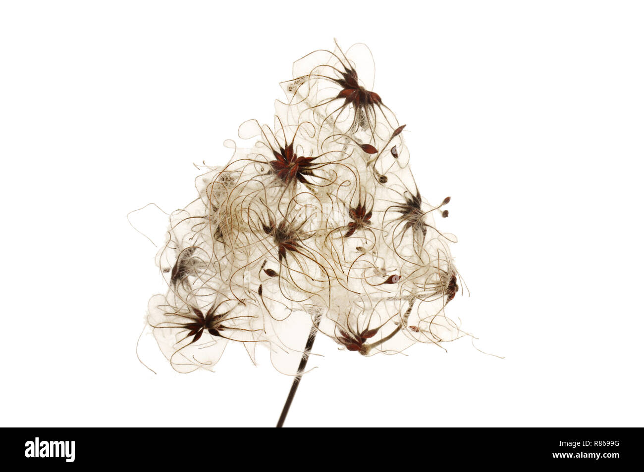 Wild clematis, Clematis vitalba, seeds isolated against white - Stock Image