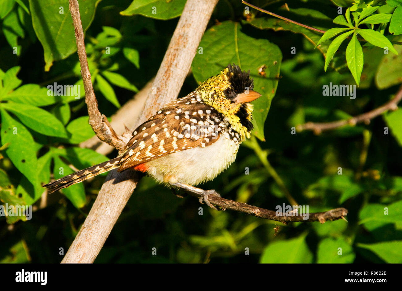 a brightly patterned and mainly ground dwelling member of the Barbet family and d'Arnaud's often calls in a duet and both sexes plumage are similar - Stock Image