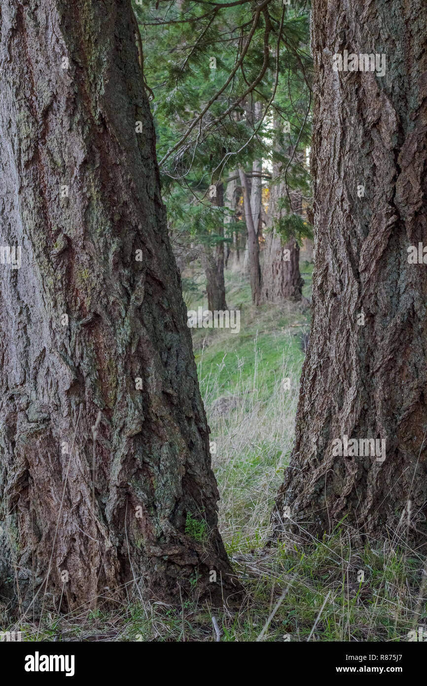 Two deeply furrowed trunks of Douglas fir trees are sharply focused in the foreground, creating a v-shaped frame for other trees further away. - Stock Image