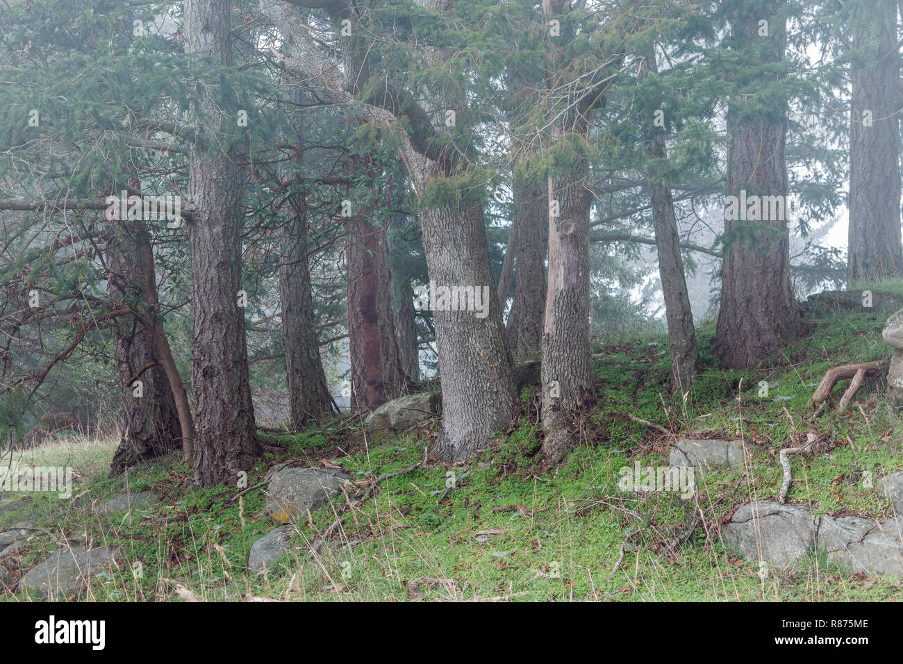 Morning fog drifts through a grove of Douglas fir trees growing on a grassy hillside in winter, in a forest park in coastal British Columbia. - Stock Image
