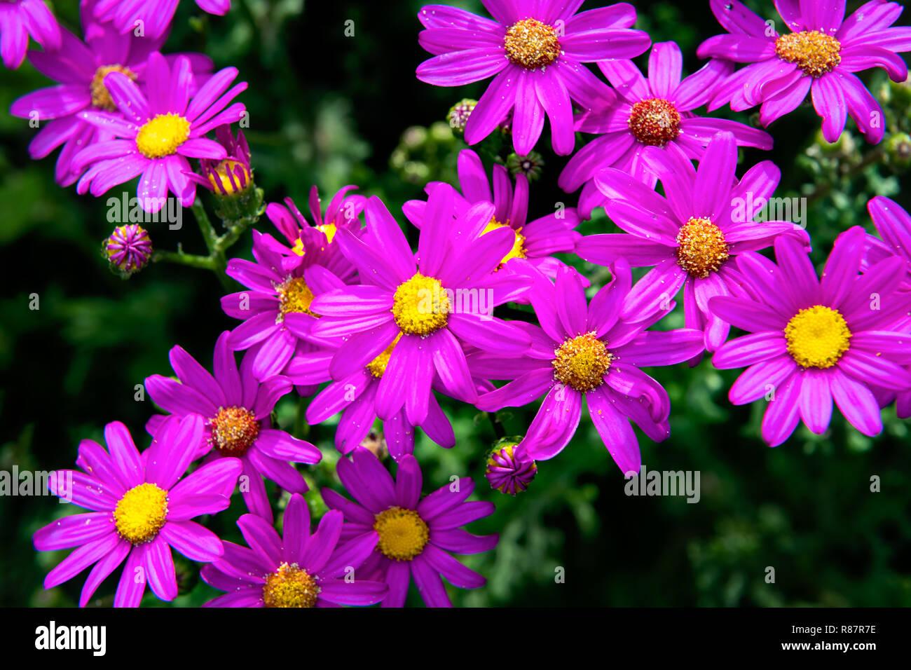 Colourful blossom of the Rough Daisy Bush on Victoria's coastline. - Stock Image