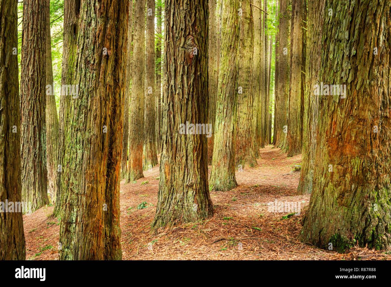 Californian Redwoods in the Otway Ranges. - Stock Image