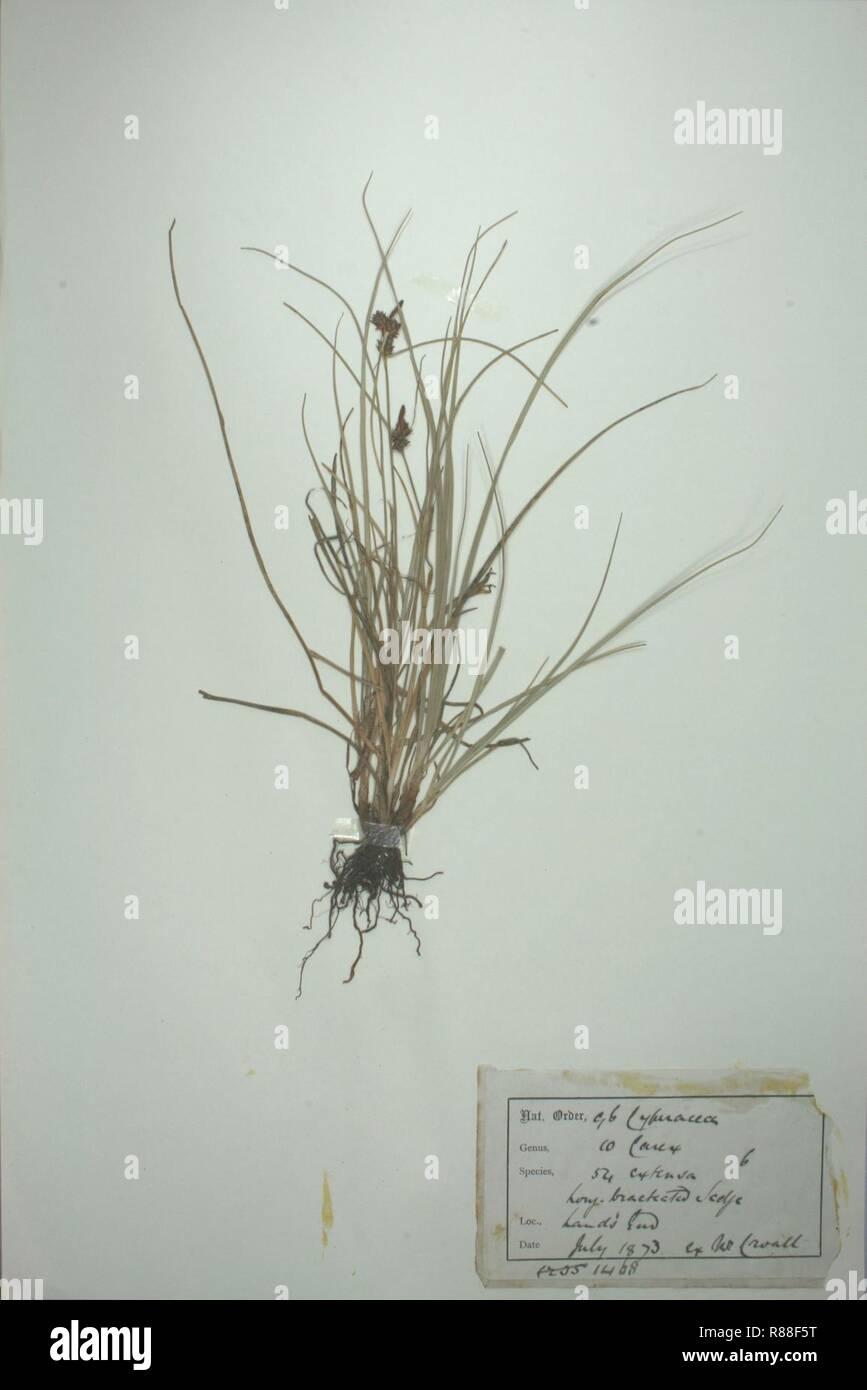Carex extensa herbarium (2). - Stock Image