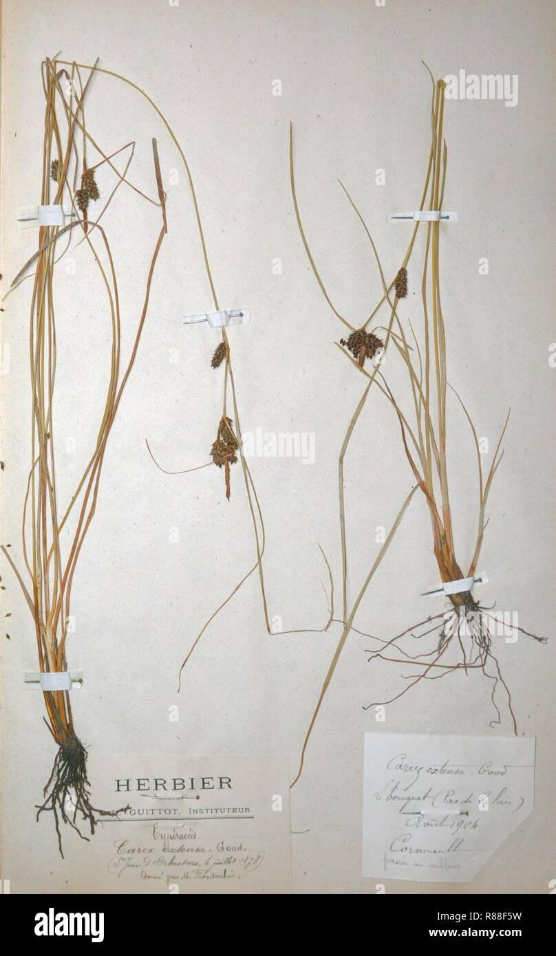 Carex extensa herbarium. - Stock Image