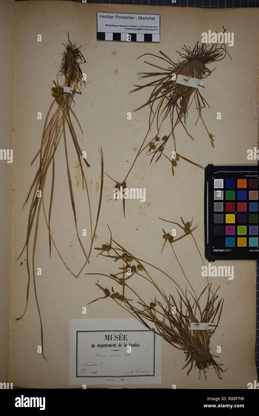 Carex oederi subsp. oederi herbarium (4). - Stock Image
