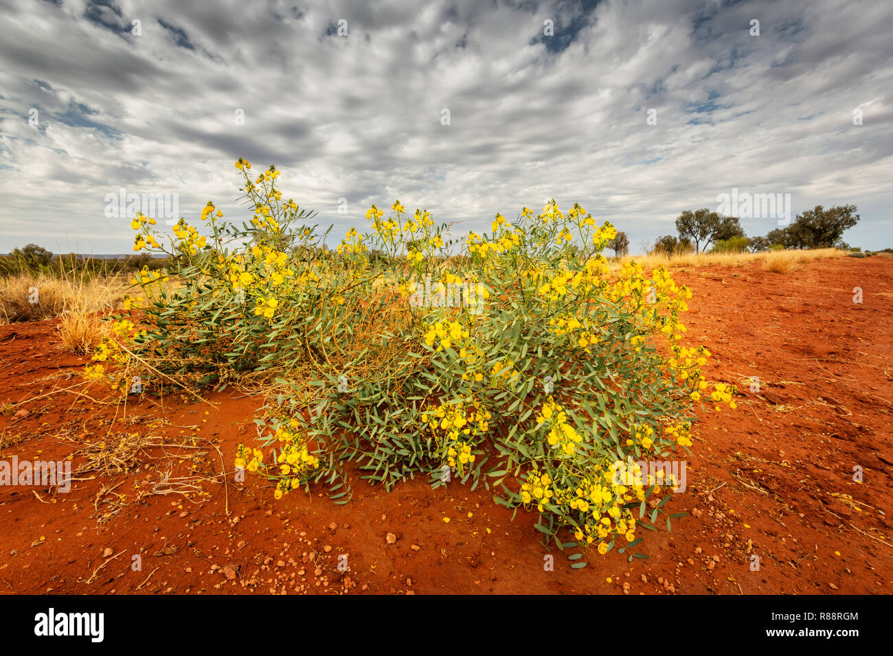 Desert Cassia in bloom after some rain in the arid Red Centre. - Stock Image